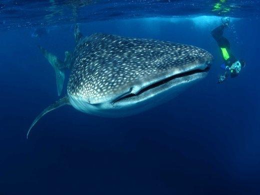 Lặn với cá mập ở Mozambique