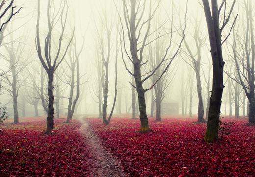Khu rừng rực rỡ với màu đỏ hồng của lá cây rụng ở Ý.