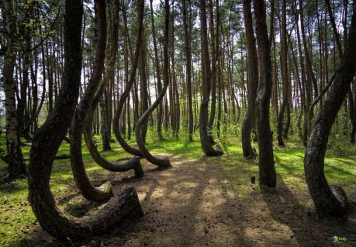 Crooked Forest ở Ba Lan nổi tiếng với những cây họ thông có thân mọc cong cong như lưỡi câu.