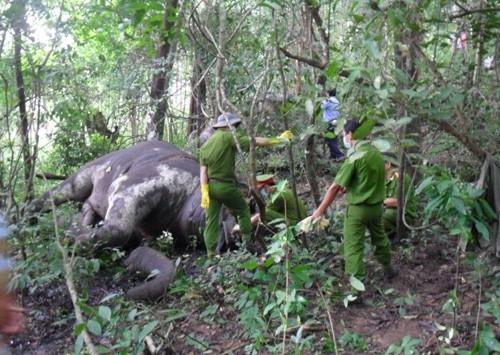 Cơ quan chức năng khám nghiệm hiện trường một con voi tại Buôn Đôn bị chết.