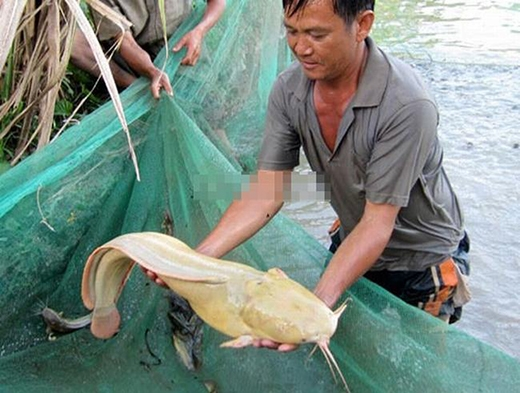 Con cá này thuộc sở hữu của gia đình bạn Trần Hữu Phước, sống tại Quận Bình Thủy, Cần Thơ. Những con cá trê thông thường có da trơn, màu đen hoặc nâu đen, trọng lượng khoảng 0,5 đến 1kg. Vậy mà con cá trê này da vàng lạ thường và nặng tới 6,8kg.