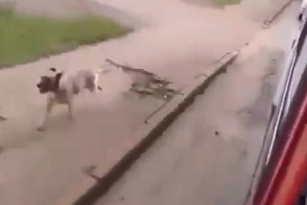 Chú chó đang cố đuổi theo xe cứu thương.