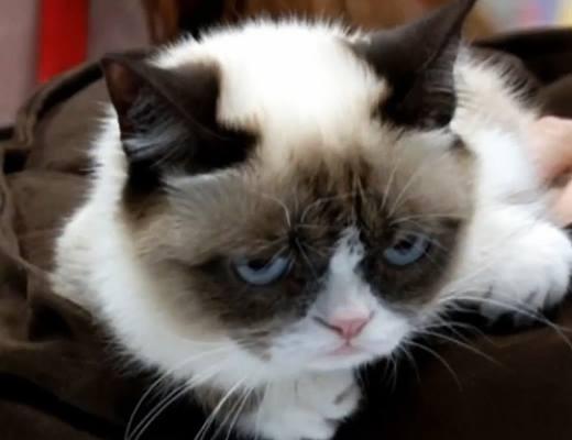 Gương mặt 'khó chịu' của mèo Grumpy Cat.