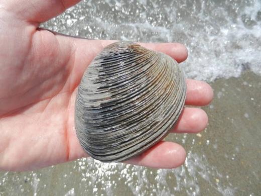 Động vật cao tuổi nhất thế giới, 1 con sò biển Quahog 500 tuổi đã vô tình bị giết hại bởi một nhà khoa học trong một lần làm thí nghiệm.