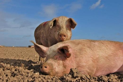 Một chú lợn đã bị xử tử hình ở Pháp vào thế kỷ 14 với tội danh ăn phải một em bé sơ sinh.