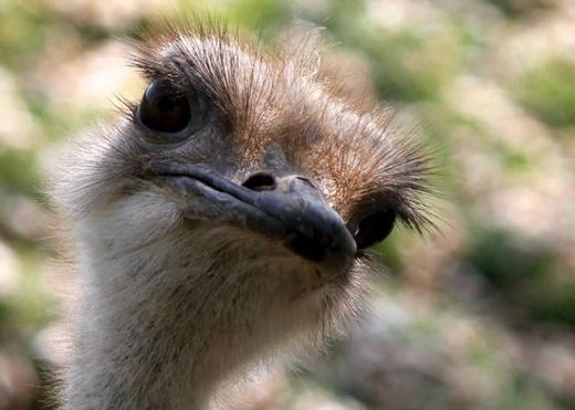 Não của loài chim đà điểu bằng với kích thước mắt của nó.