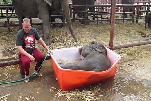 Cái xô tắm quá cỡ so với kích thước của chú voi.