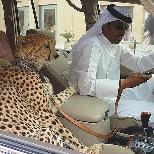 Đây là nơi mà thay vì nuôi chó hoặc dắt chó ra đường, người ta lại ưa chuộng báo hổ hoặc sư tử hơn.