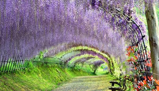 Đi dưới con đường hầm hoa tử đằng tuyệt đẹp Kawachi Fuji ở Fukuoka luôn là niềm ước ao của bất cứ du khách nào khi đến Nhật.