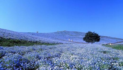 Bước chân trong công viên Hitachi ở quận Ibaraki, bạn cảm giác như mình đang bước trên một tấm thảm xanh ngắt của hoa Nemophila.