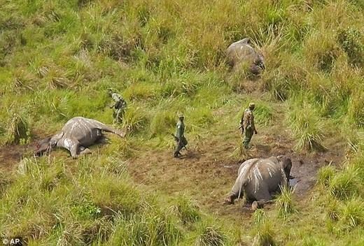 Việc săn bắt trộm voi ở công viên quốc gia Garamba, nước Cộng Hòa Congo đang gia tăng với một tốc độ chóng mặt chưa từng có.