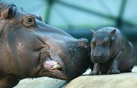 Da của những chú hà mã có thể có cân nặng lên đến hơn 22kg.