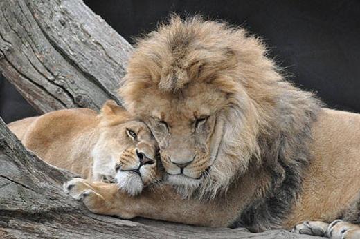 Sư tử thường giao phối từ 20 đến 40 lần mỗi ngày.