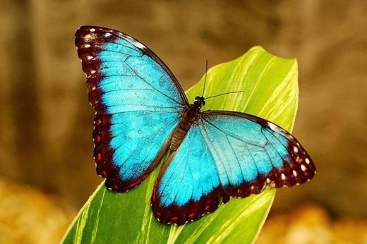 Loài bướm nếm các mùi vị thông qua bàn chân của nó.