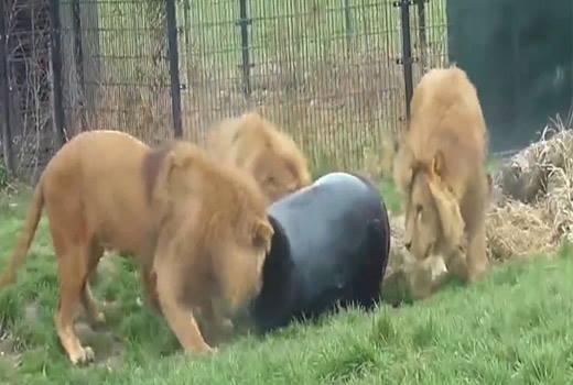 Chú sư tử ham ăn chui đầu vào thùng