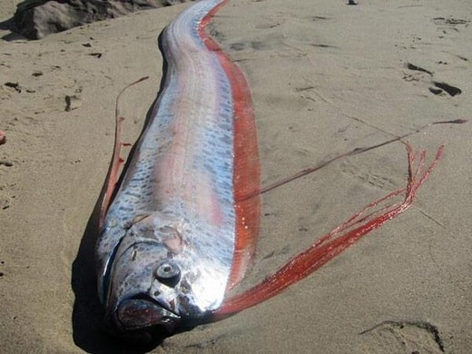 """Cá mái chèo cũng là loài dự đoán động đất. Vào năm 2011, trận động đất kèm sóng thần ở Tohoku, Nhật Bản đã diễn ra khiến nhiều người chết và bị thương. Trước khi xảy ra thảm họa kinh hoàng đó, người dân Nhật Bản đã """"sốc"""" khi thấy khoảng 20 con cá mái chèo bị mắc cạn trên các bãi biển."""