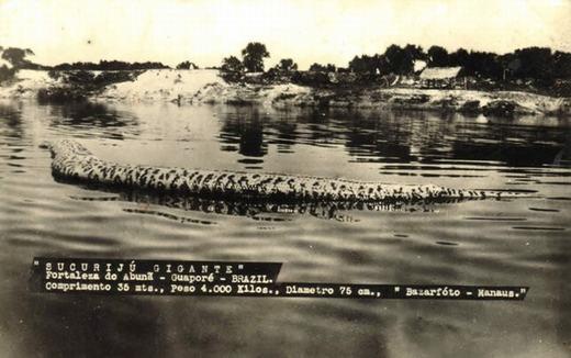 Trước đây vào 1935, đã từng có tài liệu cho thấy rằng loài trăn này dài tới 50 mét nhưng hiện tại vẫn chưa có con nào như vậy. Còn người dân bản địa cho rằng nó chỉ tối đa 15 mét là cùng.
