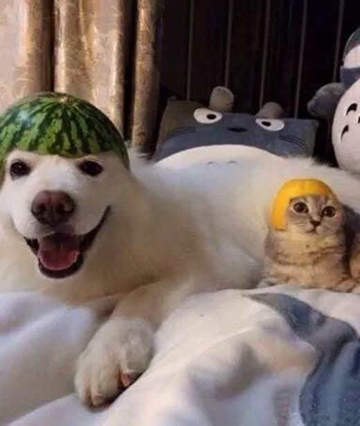 Bức hình chú cún Samoyed và chú mèo được chủ 'thiết kế' cho chiếc mũ bằng vỏ dưa hấu, vỏ cam vô cùng đáng yêu, khiến nhiều dân mạng phải xuýt xoavì vẻ dễ thương của hai con thú cưng này.