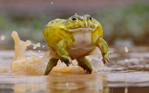Những con ếch yêu tinh có thể sở hữu trọng lượng lên tới 2 kg, con đực có kích thước chiều dài lớn gấp đôi con cái: 24 cm so với 12 cm.