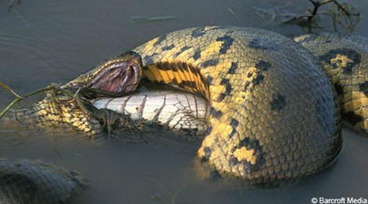 Một con trăn Anaconda – một loài trăn khổng lồ vùng Nam Mỹ - đang xiết cá sấu Caiman. Chỉ ít phút nữa thôi, con cá sấu sẽ nằm trong bụng con trăn hung hãn.