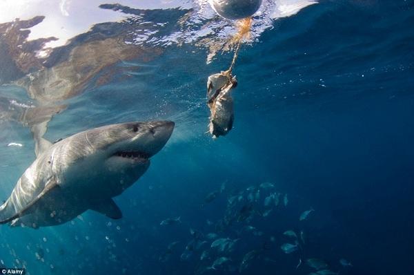 Rodney Fox tổ chức các tour du lịch đến một trong những vịnh nhỏ, nơi sinh sống không chỉ của cá mập mà còn của nhiều loài động vật có vú, bò sát và các loài chim; một số chỉ có ở quần đảo Neptune.