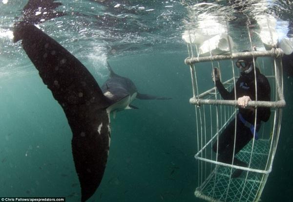 Những kẻ liều lĩnh có thể trải nghiệm những con cá mập sống động ở Cape Town trong những chiếc lồng lặn ở đảo Seal, thuộc vịnh False.