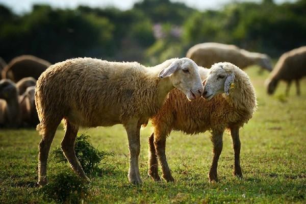 Những đàn cừu từng xuất hiện đẹp lung linh trong các bộ ảnh thời trang cưới...
