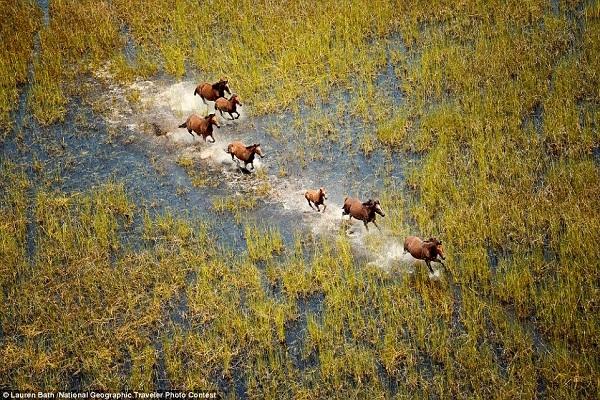 Nhiếp ảnh gia Lauren Bath lại chọn chụp những chú ngựa hoang phi nước đại ở vùng Kimberly thuộc miền Tây nước Úc.