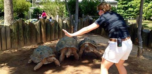 Chắc phải mất một khoảng thời gian để 3 chú rùa có thể bò đến gần huấn luyện viên của mình.
