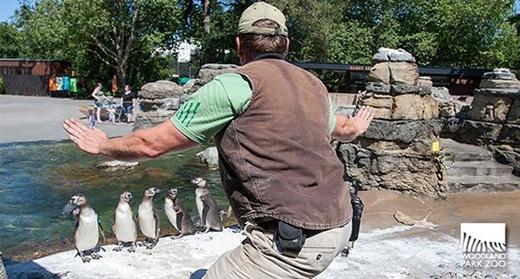 Một đàn cánh cụt cùng với huấn luyện viên của mình.