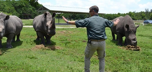 Một chú tê giác lại không tập trung vào chuyên môn khi bận ăn rồi.