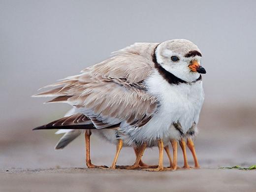 """Ở một số loài động vật, con mái và con trống có nghĩa vụ chăm sóc con như nhau. Thậm chí, đôi khi con mái chỉ việc sinh con, còn chuyện chăm sóc là của con trống. Trong hình là chú chim trống đang ủ ấm cho đàn con khi chim mái đi kiếm ăn cho cả """"gia đình nhỏ""""."""