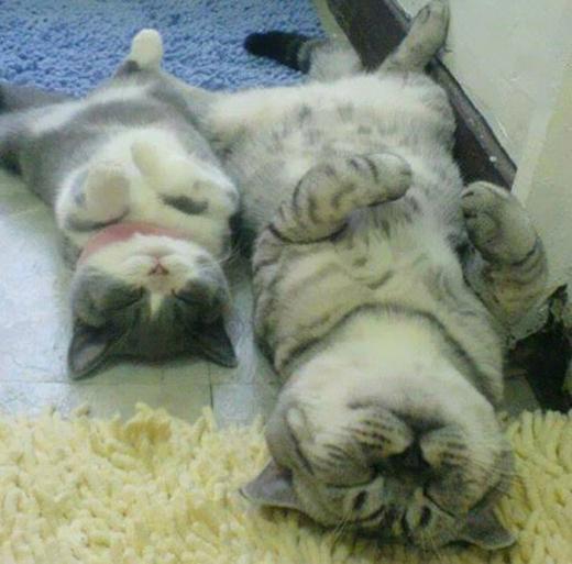 """Nhà mèo này """"đồng lòng"""" ngay cả trong tư thế ngủ cơ đấy."""