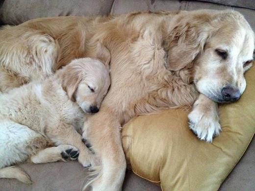 """Chú cún có """"chiếc gối"""" còn êm ái hơn cả bố mẹ nó nữa."""