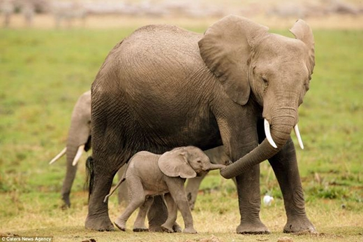 nhưng khi lớn lên chú voi con này sẽ cao to và cực kì khỏe đấy.