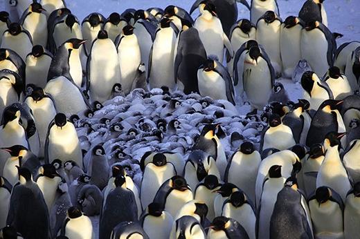 """Những chú chim cánh cụt trưởng thành quây quần lại để ủ ấm đàn con trong """"đại gia đình cánh cụt""""."""