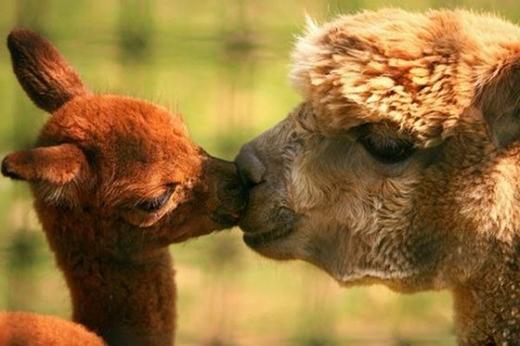 """Nụ hôn ấm áp của """"gia đình"""" Alpaca – một loài lạc đà không bướu sinh sống tại Nam Mỹ."""