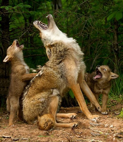 Bài học về tiếng gầm rú là rất cần thiết khi cho chú sói con khi trưởng thành.