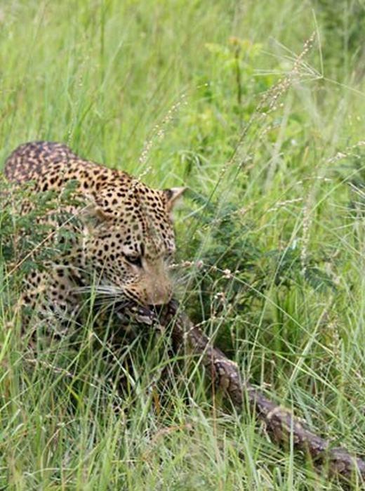 Con trăn tội nghiệp chưa chết hẳn, nó vẫn cố trườn và bám vào bụi cỏ mặc cho con báo đốm cố sức lôi.