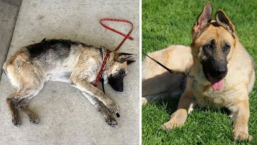 """Chú chó giống Becgie, Vita, được tìm thấy trong tình trạng bị bỏ đói suýt chết. Giờ đây, Vita đã trở thành """"anh chàng"""" đẹp mã."""
