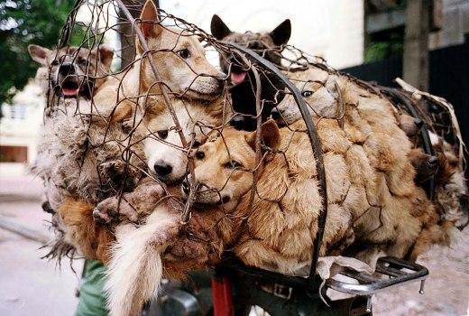 Không chỉ những chú chó sẽ bị giết làm thịt khi nhiều chú mèo cũng phải đối mặt với nguy cơ biến thành thức ăn trong lễ hội ăn thịt chó này.  Ước tính hằng năm có khoảng 10.000 chú chó bị giết và làm thịt trong lễ hội thịt chó này.