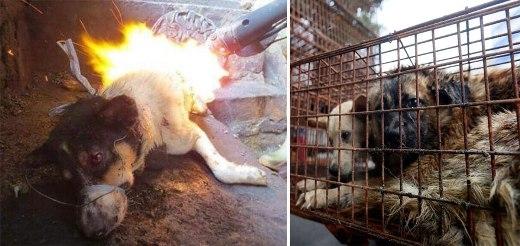 Những chú chó bị giết và làm thịt rất tàn bạo.