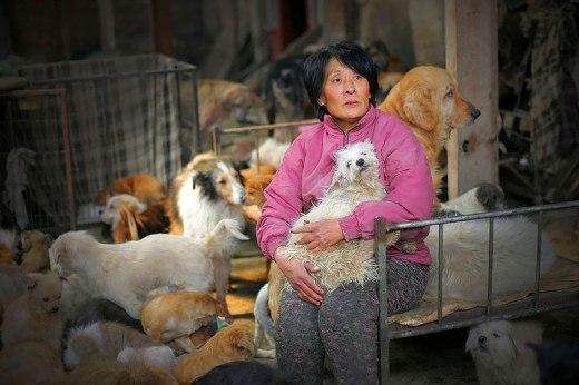 BàYang Xiaoyun, một cô giáo về hưu ở Trung Quốc đã bỏ ra 20 triệu tiền túi để giải cứu 100 chú chó khỏi lễ hội thịt chó ở Ngọc Lâm.