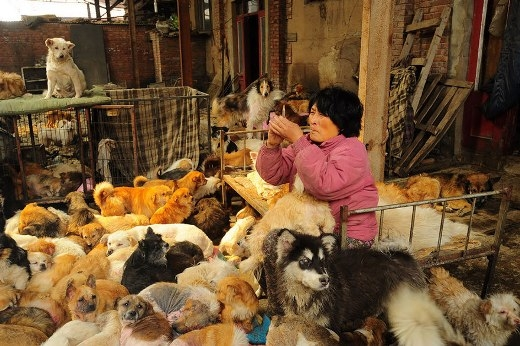 Rất nhiều chú chó cần phải được chăm sóc y tế, vì thế bàYangcũng tự làm bác sĩ và chăm sóc sức khỏe cho những chú chó.