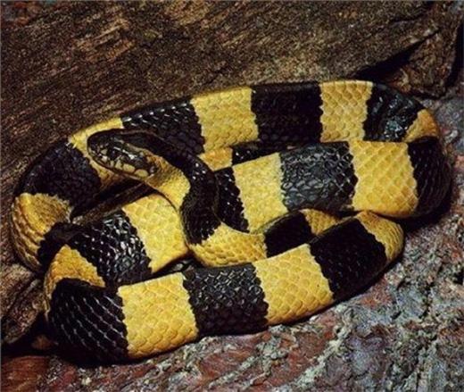 """Rắn cạp nong hay còn gọi là rắn cạp nia, rắn mai gầm thường xuất hiện ở khu vực núi Dinh (Đồng Nai). Loài rắn này ít khi tấn công con người, nhưng một khi chúng đã """"ra tay"""" thì con mồi có thể bị chết trong vòng vài phút nếu không được cứu chữa kịp thời bởi nọc độc cực mạnh của loài này."""