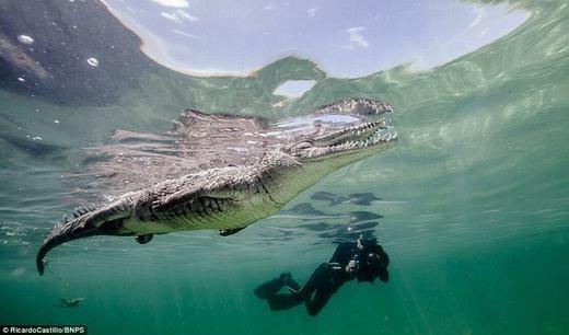 Bằng kinh nghiệm bơi lặn nhiều năm, ông biết rằng việc tiếp cận loài cá sấu nước mặn này là không nên bơi bên cạnh nó. Ước tính, chú cá sấu này dài gần 4 mét.