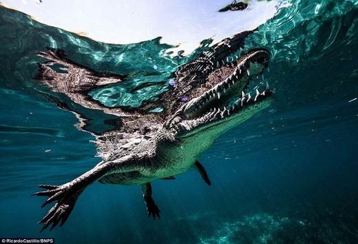 """""""Ta chỉ có thể bơi phía trước hoặc sau cá sấu, bởi nếu bơi song song bên cạnh nó cũng đồng nghĩa với khả năng bị tấn công là cao hơn"""", Ricardo nói."""