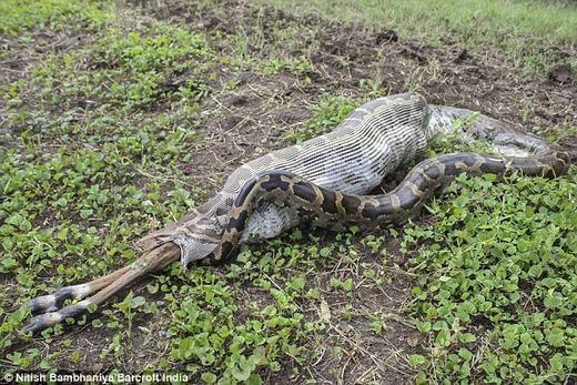 Con trăn đã cố gắng và gần như nuốt được con linh dương vào bụng, chỉ còn lại đôi chân.