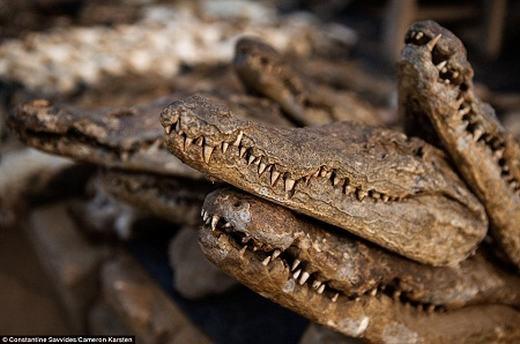 ...và đầu cá sấu. Chúng đều có giá trị về dược liệu.