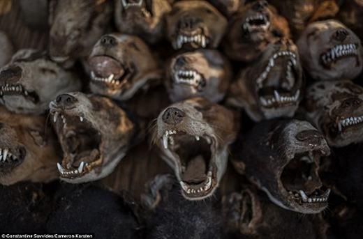 Đây là những cái đầu chó...